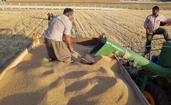 برداشت بیش از ۳۰ تن گندم از اراضی کشاورزی دانشگاه آزاد اسلامی مراغه